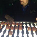 Avícola Coliumo lanza Huevos libres La Castellana, los más competitivos del mercado